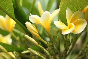 indonesian flower yellow flower free wallpaper flower wallpaper hd wallpaper beautiful flowers