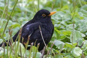 looking blurred background ground side view greens blackbird close-up view beautiful park plants