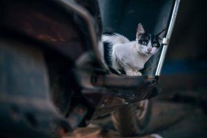 looking motorcycle cat whiskers eyes animal daylight fur mammal pet