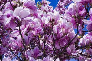 magnolia blossom sky frã¼hlingsblã¼her herrlich branch nature white mood magnolia leaves violet