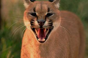 mammal canine animal hunter whiskers close-up dangerous feline wildlife fur