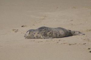 nap babyseal sleeping sandiego beach lajolla beachsand chilling resting seal