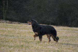nature joy dog peace hovawart