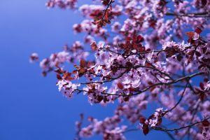 nature tree macro spring awakening japanese cherry fruit tree spring flower blossom blã¼tenmeer japanese cherry trees