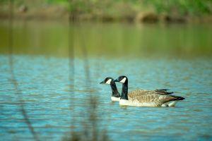 nature wildlife wild animal animal photography feathers blur ducks water environment ripples