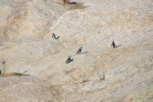 ocean cute beach boulders nature animals penguins cape town south africa