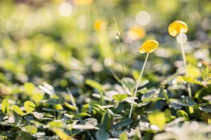 orthosiphon aristatus dew sunrise green vibes ageratum conyzoides l. weeds macro haze garden