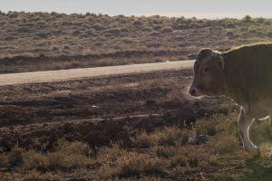 outdoor cow animal mammal