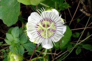 passion flower plant wildflower climber plant garden white flower mother nature flower nature green leaf