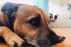 paw creative commons staffie ear lying down terrier cute room dog no copyright