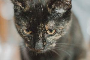 pet eyes domestic fur whiskers mammal cat little close-up feline