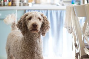 pet looking fur indoors dog canidae blur portrait close-up canine