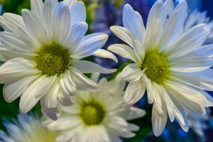 petal beautiful flora chrysanthemum bright flower color season
