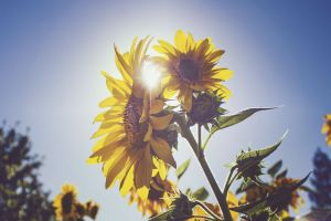 petal sunflower plant nature flowers summer blossom bloom season flora