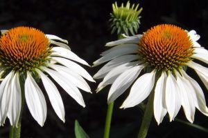 petals white bloom flower