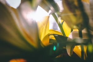 petals yellow flower sun bulb light flare yellow sunburst flower lens flare