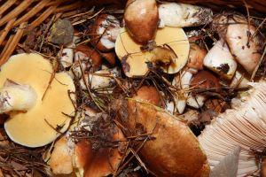 picking mushroom natural activity mushrooms fungus country outdoor full active
