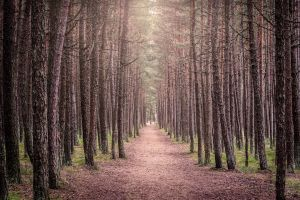 pine trees deep scary forest forest path nature