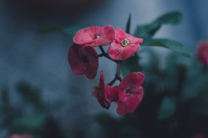 plant flower greens red flower dark rose