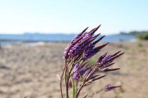 purple flower beach flower beach