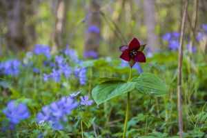 purple flowers blooming forest wild plant green flower nature forest floor wild flowers violet