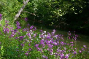 purple flowers trees field of flowers green field wild flower stream blooming