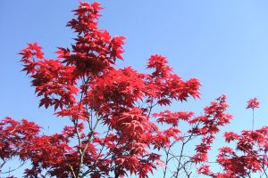 red red leaves tree red tree