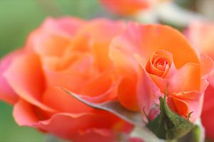rose blooming nature petals close-up blossom flora blurred background bloom colors