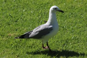 seagull animal nature grass feathers