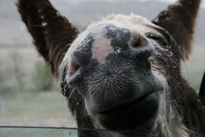 snow nose horse animal natural nature donkey mule