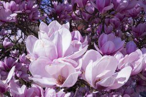 spring flowers bloom ornamental plant magnolia tree white blossom flowers blã¼tenmeer sky close magnolia blossom