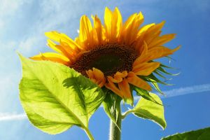 sunflower beauty summer