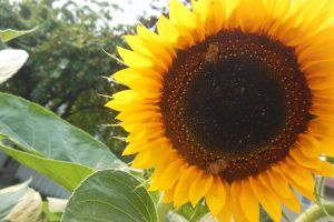 sunflower bees summer gardening