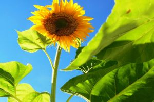 sunflower flora sunny blossom flower plant bloom