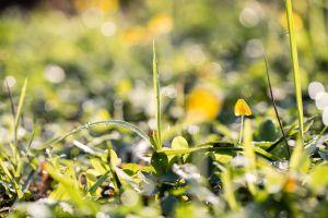sunrise ageratum conyzoides l. haze flower garden dew grass isolated macro orthosiphon aristatus