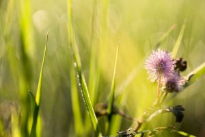 sunrise flower garden isolated grass ageratum conyzoides l. green weeds haze macro