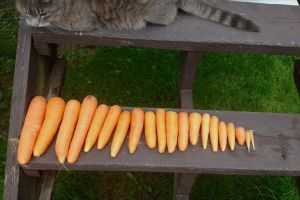 tabby carrots garden cat
