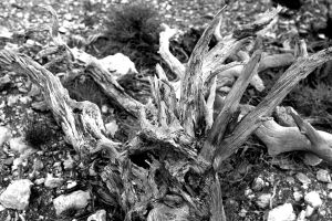 texture drift wood wood black-and-white branches dry
