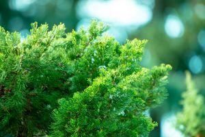 tree evergreen environment