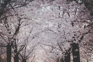 trees colors spring flowers tree nature flowers springtime cherry blossom