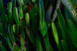 tropical beautiful nature plants cactus cactus plant cactuses green puerto rico forest