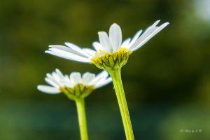 white chamomile summertime summer