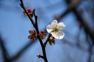 white cherry blossom sakura flower