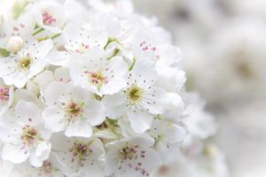 white spring flowers pear flowers bunch of flowers beautiful flowers springtime