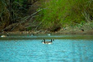wild animal ripples animal photography blur wildlife nature ducks environment water depth of field