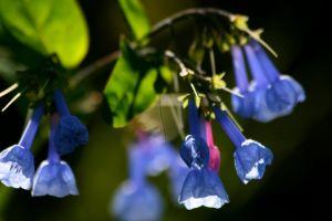 wild wildflowers bluebells springtime blue green leaf bell flower violet blue flowers native