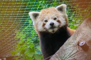 wildlife cute chain link fence looking grass mammal wild fur animal red panda