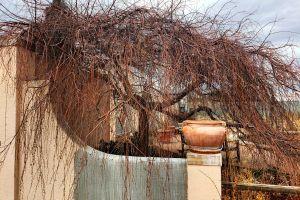 willow decorative plant shrub tree wispy