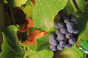 wine farm flowers taste fruit winelands grapes trees red wine nature green