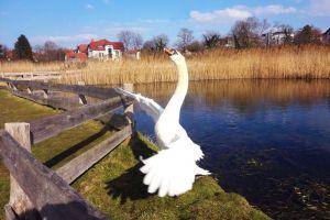 wings summer swan pond